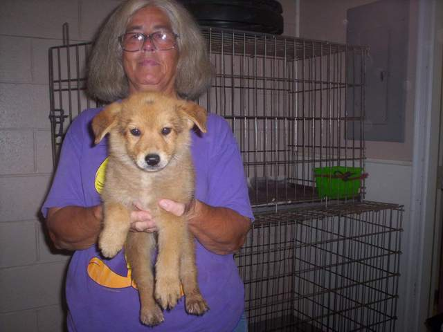 golden retriever mixed with chihuahua. Pup Male Golden Retriever Mix
