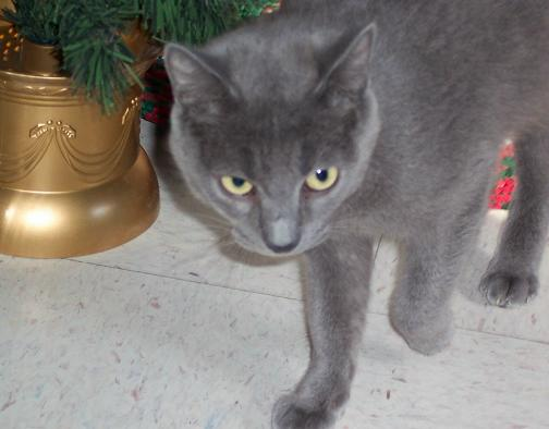 Tabby Cat Or Russian Blue Pictures to pin on Pinterest